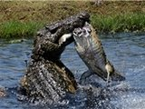 鳄鱼大战 小鳄鱼被残忍撕碎