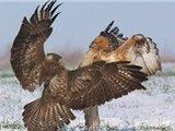 两秃鹰为争食物雪地激烈争斗