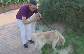 仅仅1月大金毛犬却被兽医专家判死刑