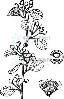 纲中文名:双子叶植物纲