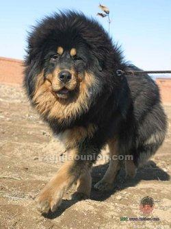 西藏喇嘛给一种动物食物