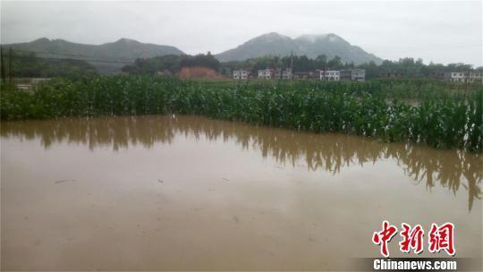 龙港镇月台村庄稼受淹 蔡克智 摄