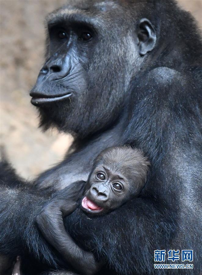 莱比锡动物园的大猩猩