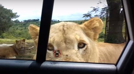 南非野生动物园狮子突然扒开车门