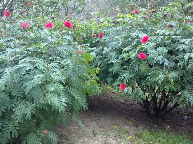 植物界被子植物门双子叶植物纲捩花