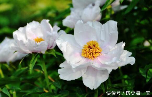"""夏季凤丹要这样养,知道3点技巧,开花就爆盆,阳台变""""花园"""""""