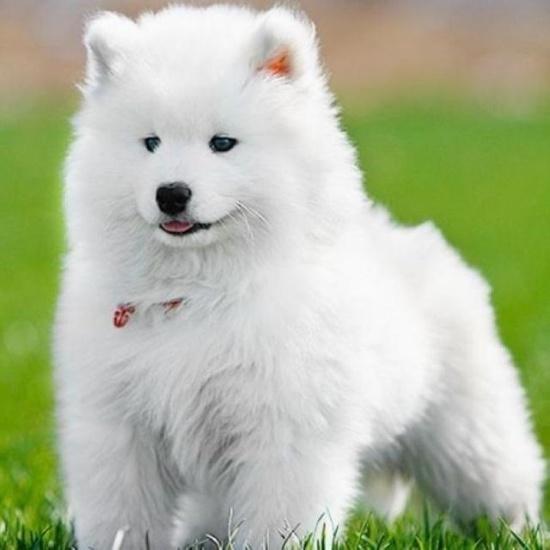 萨摩犬多大_萨摩犬