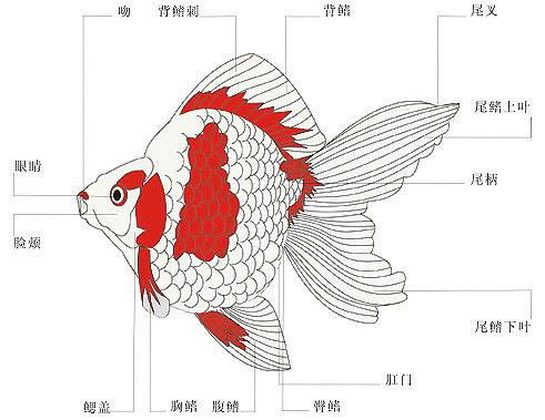 金鱼各个部位的名称. (最好有图片)