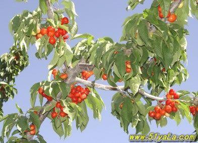 东坝观光果园种植了苹果,梨,桃,葡萄,樱桃,李子,枣,杏等8个树 种40多