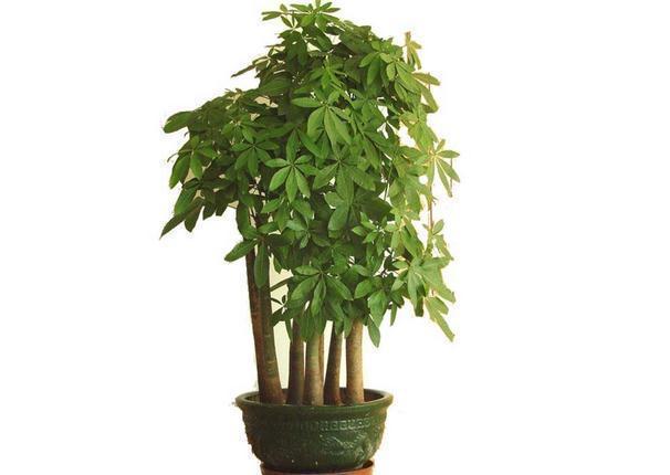 发财树的摆放风水与养殖