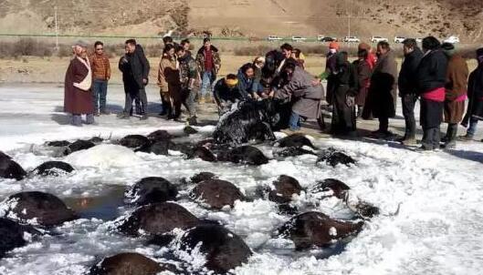 青海180头牦牛过河踩塌冰面 107头溺亡