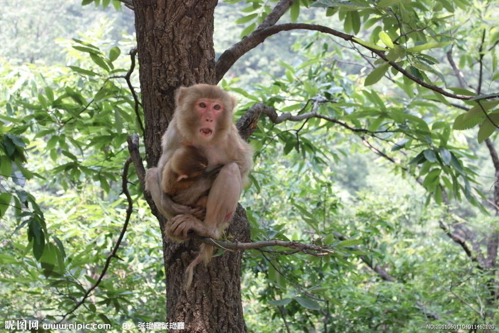 猴子是灵长目动物的俗称。灵长目是动物界最高等的类群,猴子一般大脑发达,眼眶朝向前方,眶间距窄,手和脚的趾(指)分开,大拇指灵活,多数能与其他趾(指)对握。包括原猴亚目和猿猴亚目。简介   猴种类的部分特征差不多,例如很多新世界猴会有缠卷的尾巴,这样当它们爬树时就可以用来抓着树枝,相反旧世界猴就没有缠卷的尾巴,而是有较小的鼻孔,鼻孔之间的距离也较近,部分的背部有硬皮,就像嵌入的座椅靠垫般;部分也像人类有三色的视力;其他则是两色视或单色视。虽然新旧世界猴,像猿,都有向前的眼睛,但二者的脸部却是不同的;而每种类