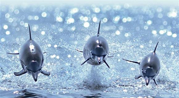 海豚齐齐跃出海面 仿佛飞行中的战斗机