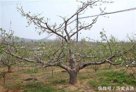 苹果树不结果学会3种修剪方法,第二年保你大丰收