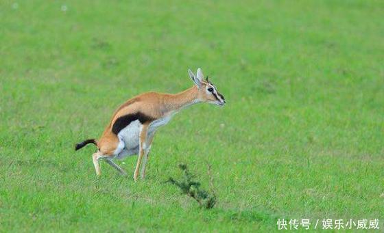 母羚羊旷野中产子,可是小羚羊出生后没一会母羚羊却掉头就跑!