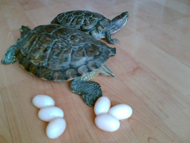 鸳鸯蛋和乌龟蛋如何分辨请详系 如果鸳鸯蛋埋在沙子里会怎样此蛋为1