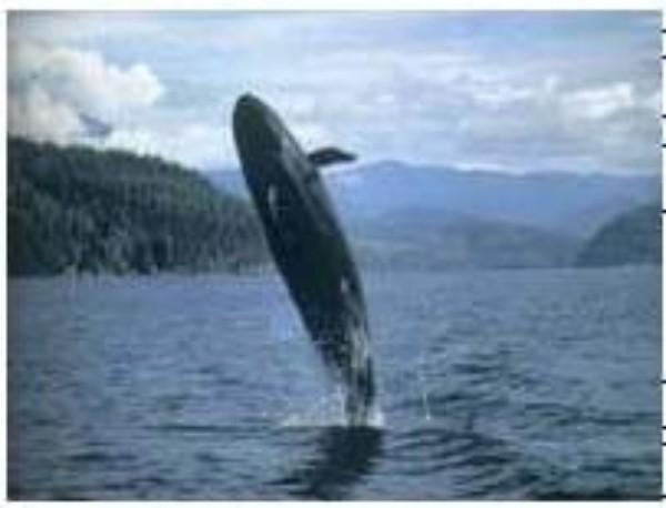 壁纸 动物 海洋动物 鲸鱼 桌面 600_458