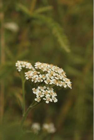 植物界 纲:双子叶植物纲(dicotyledoneae)  植物信息 种中文名:云南蓍图片