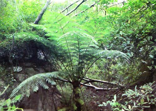 茎干粗约15-20公分,常高达5-12公尺以上,树干不分枝,上半部具有明显