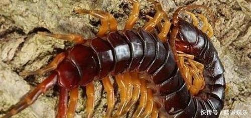 实拍世界上最大的蜈蚣到底有多大呢网友还真有这么大的蜈蚣啊