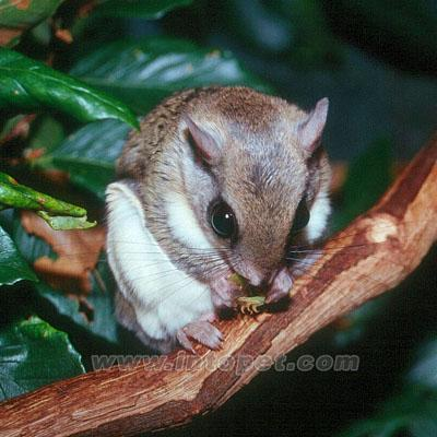 呆萌可爱的小飞鼠图片