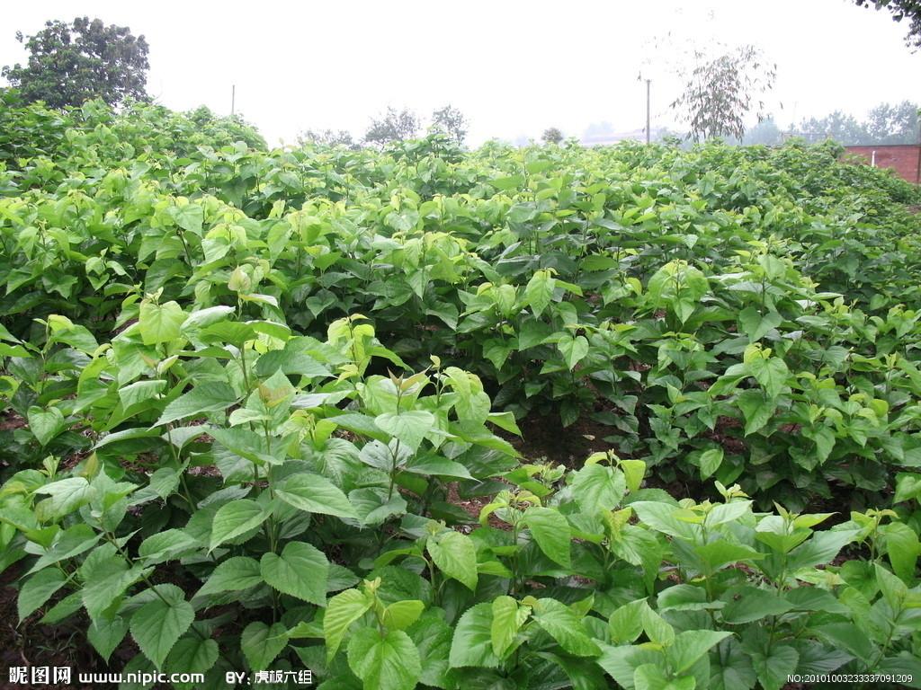 桑树种植视频_为害桑树的害虫主要为桑树金龟子,种类很多,成虫啮食桑芽