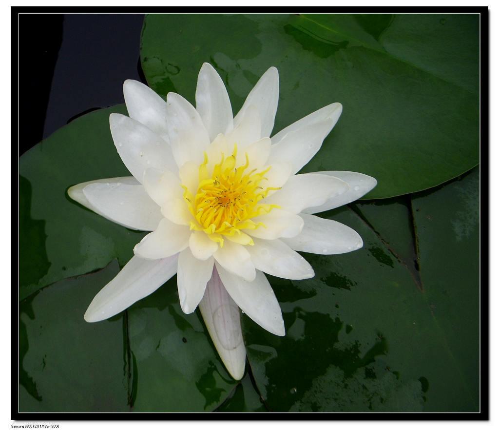 睡莲的繁殖方法是参茎繁殖,与皇冠草相同.