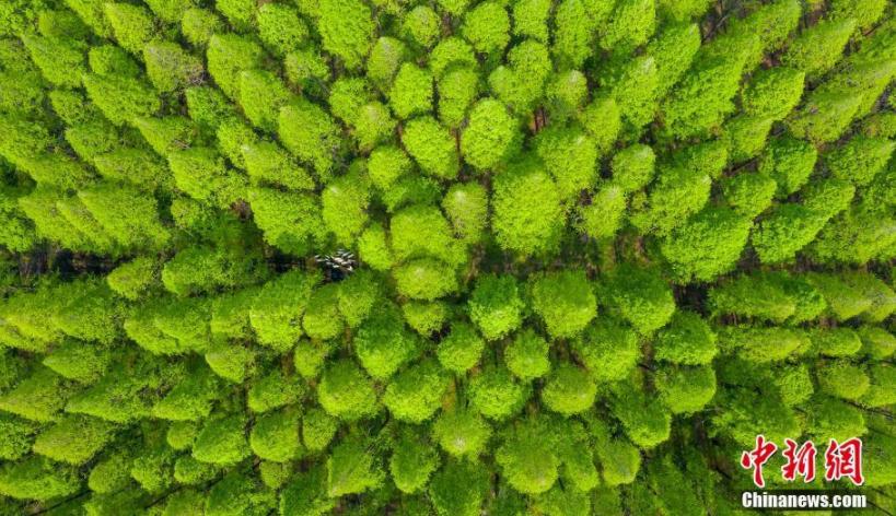江苏泗洪百亩水杉林似调色板