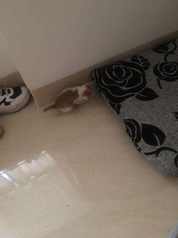 下雨天捡到只小橘猫,后才知道是麒麟尾猫,女子快要美翻了