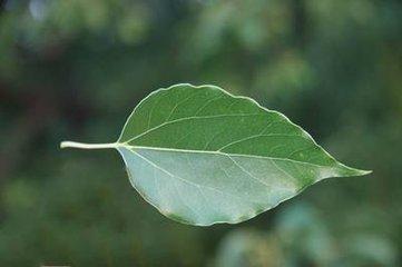 樟树叶子象一只绿色的小船.