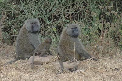 绿狒狒因毛色棕中带绿而得名,属于猴科动物中体型最大最强壮凶悍的品