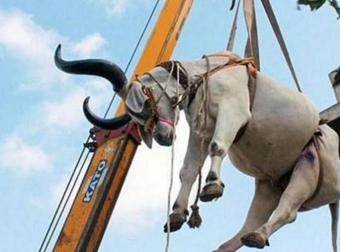 印度街头两头牛被吊机吊着,主人的狠心引来骂声一片 -  - 真光 的博客