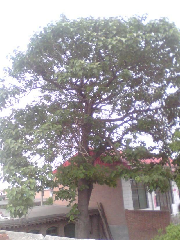 像这样一棵梧桐树值多少钱?