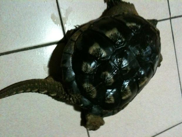 小鳄龟怎么分公母 3厘米左右的小鳄龟怎么分辨公母图片