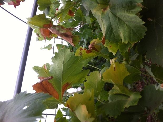 我家的葡萄树有很多叶子发黄了
