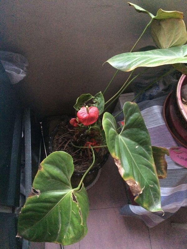 红掌,原名:花烛(学名:Anthurium andraeanum),天南星科、花烛属多年生常绿草本植物。花朵独特,有佛焰花序,色泽鲜艳华丽,色彩丰富,每朵花花期长,花的颜色变化大,花序从苞叶展开到花的枯萎凋谢,颜色发生一系列的变化,由开始的米黄色到乳白色,最后变成绿色,枯萎之前又变成黄色。叶形苞片,常见苞片颜色有红色、粉红、白色等,有极大观赏价值。可用播种、分株等法繁殖。红掌的花语是大展宏图、热情。红掌世界科研已处于较为深入的阶段,其中欧洲水平较高,亚洲次之,非洲较差。荷兰在红掌的系统研究中居于领先地位。
