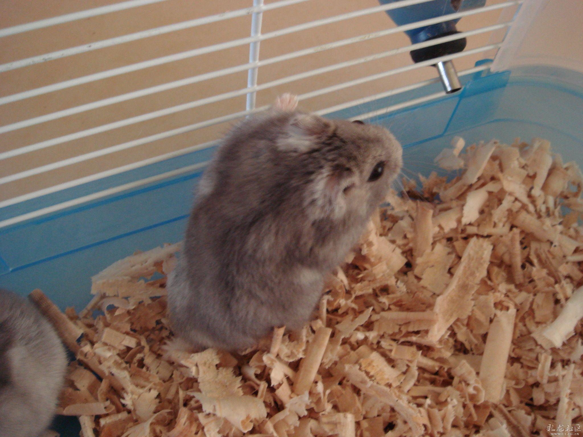 """仓鼠是很可爱的宠物之一,所以很多小朋友或女性一看见这种""""活毛公仔"""""""