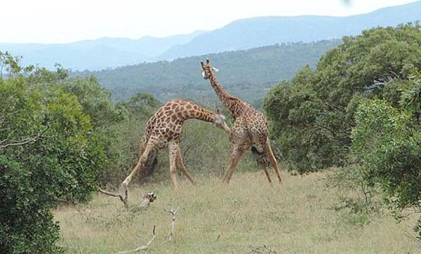 【转】北京时间     南非两长颈鹿为争夺交配权上演甩脖大战 - 妙康居士 - 妙康居士~晴樵雪读的博客