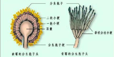 青霉孢子囊形状——;曲霉孢子囊形状