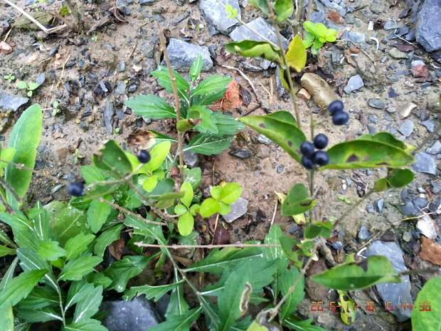 """野生的蓝梅果子吧. 貌似""""月桂树"""" 野葡萄的果实 老鸹眼子啊"""