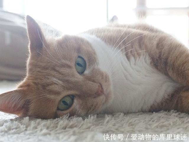 大橘以胖为美,发情后依旧嫌弃苗条母猫,因此憋出了尿结石