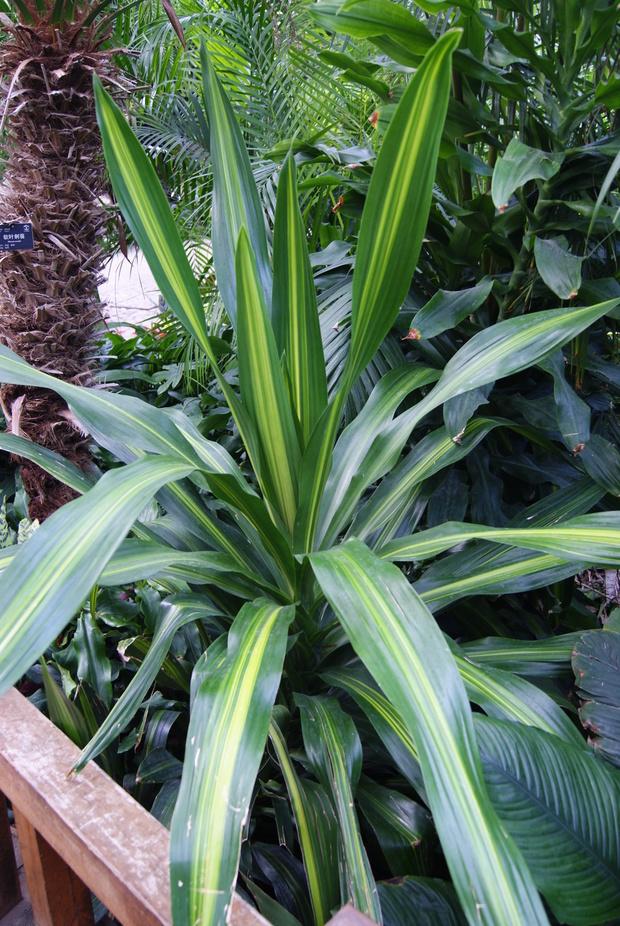 百合科,龙血树属植物