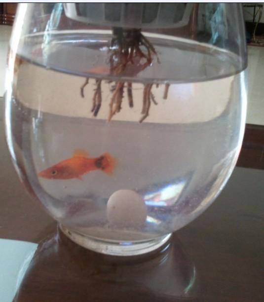 请问米奇鱼的性别是如何辨别的 第一幅图中的米奇鱼哪条是公哪条是母图片