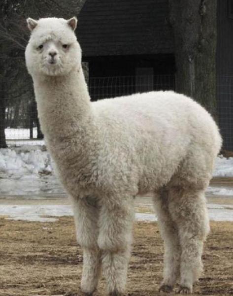 羊驼是几级保护动物