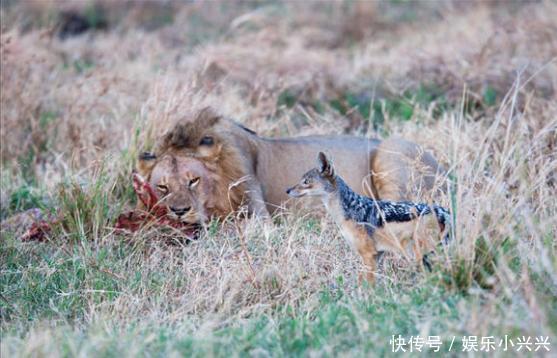 胡狼等雄狮吃饱离开后去捡剩,刚走到猎物面前却发现它也来了