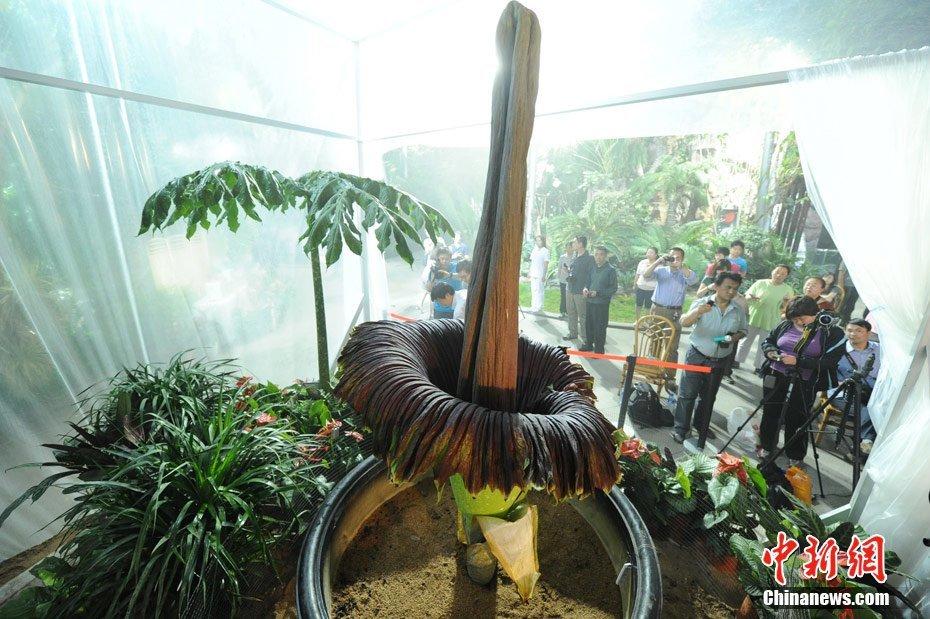 坦魔芋,是世界上最大的花