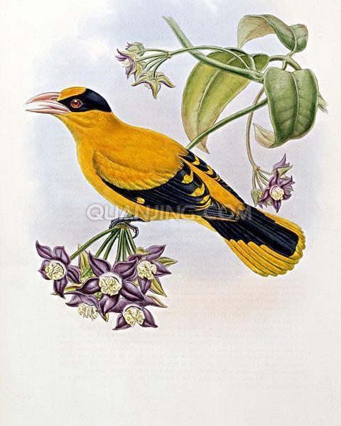 黄鹂鸟怎么画