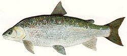 鲱形白鲑图片