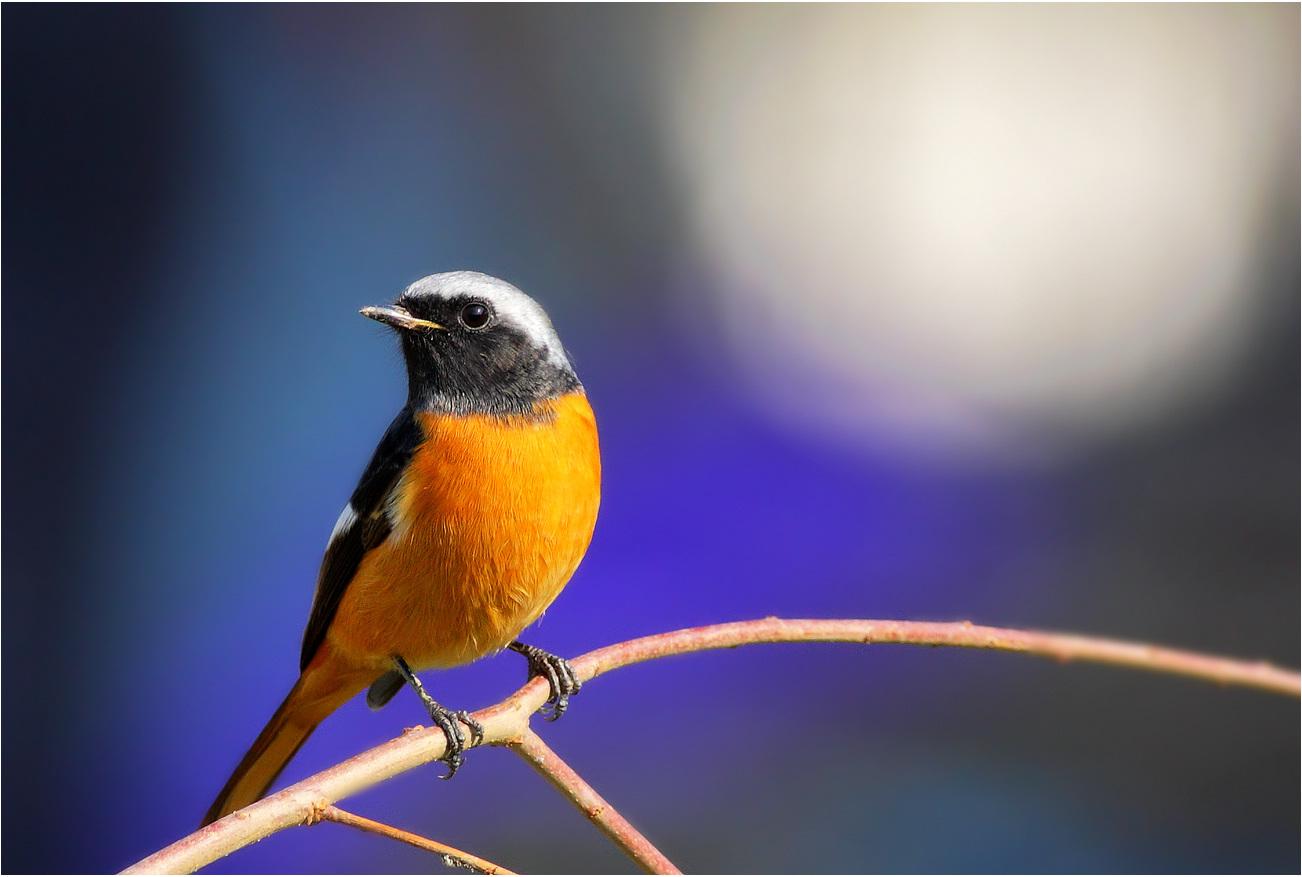 壁纸 动物 鸟 鸟类 雀 1302_877