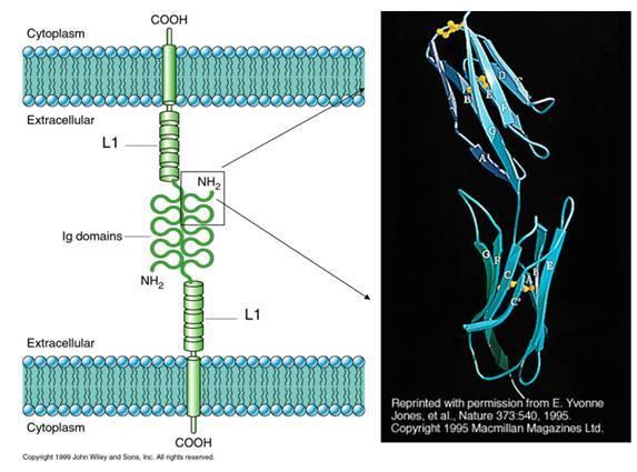 ig-sf)包括分子结构中含有免疫球蛋白(ig)样结构域的